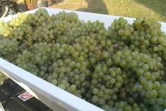winogrona białę